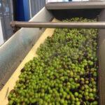 Olive - Dalle olive all'olio, la lavorazione in frantoio
