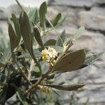 Olivicoltura nella Valle Argentina - L'ulivo taggiasco è il suo frutto